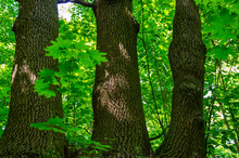 Deciduous Tree With Triple Trunk