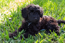 Schnoodle Puppy Dog Laying Dow...