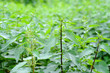 Leinwandbild Motiv Nettle with green leaves. Medicinal plant. Food ingredient. Space for text.