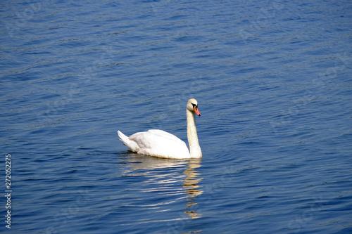 Foto auf Acrylglas Schwan Beautiful white swan on the lake with blue water.