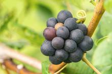 Vine Grape In Vineyards, Rips Grapes In Fall.