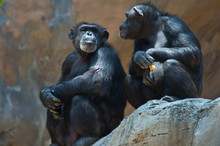 Two Mahale Mountain Chimpanzee...