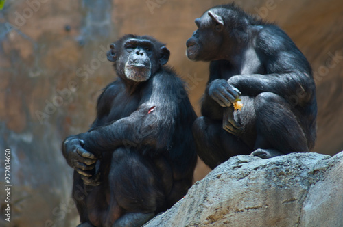 Foto Two Mahale Mountain Chimpanzee at LA Zoo Chimps look at each other one open woun
