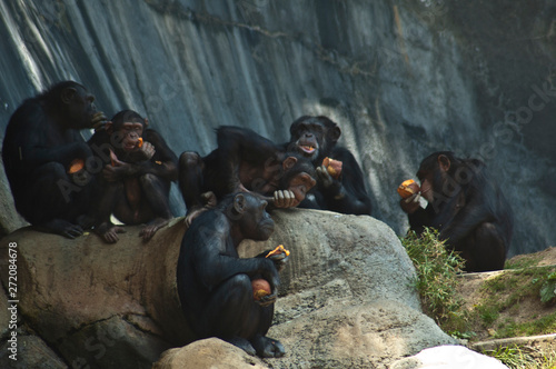 Group of five Mahale Mountain Chimpanzees at LA Zoo eats on a rock Fototapet