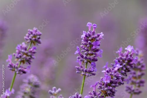 Fototapety, obrazy: Prächtig violette Lavendelblüten heißen den Sommer willkommen
