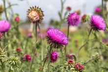 Beautiful Purple Thistle Flowe...