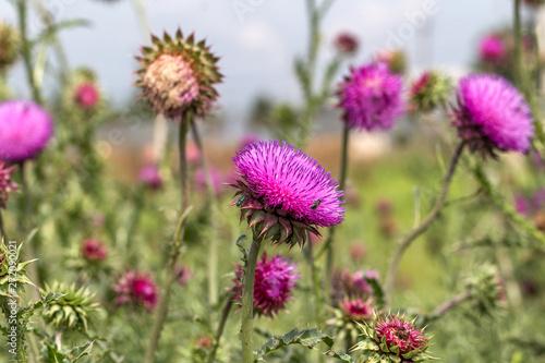 Fototapeta Beautiful purple thistle flower
