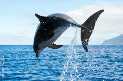 Fotografie, Obraz  wale watching on the wonderful island of Madeira: Wild bottlenose dolphin jumping out of the water; Portugal, Europe