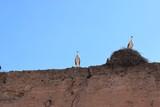 Bociany na murze w Maroko