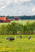 Grazing Cows On A Summer Meadow In A Rural Landscape