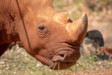 White Rhinoceros Is Eating Food.