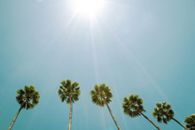 Palm Trees Against Blue Sky. S...