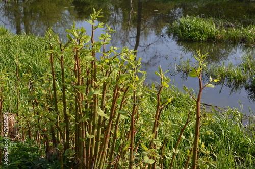 rdestowiec japoński, stanowisko młodych roślin, Reynoutria japonica Fototapet