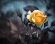 Yellow Rose On Bokeh Background