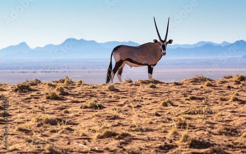 ein Oryx steht am Rand der Namib, malerische Landschaft in Namibia