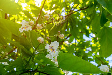 Blooming Catalpa In Early Spring
