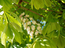 Aesculus Hippocastanum -  Foliage And Flowers Of Horse-chestnut Or Conker Tree
