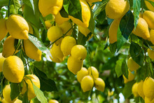 Fresh Yellow Ripe Lemons With Green Leaves On Lemon Tree Branches  In Sunny Weather.