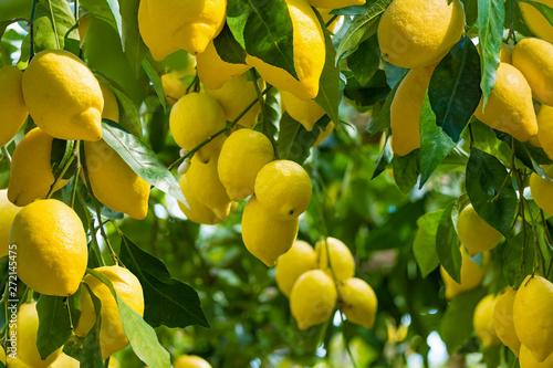 Fototapeta Fresh yellow ripe lemons with green leaves on lemon tree branches  in sunny weather