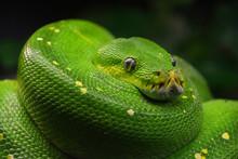 Green Tree Python (Morelia Viridis) Close Up