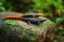 Two Himalayan Newt On The Creek.