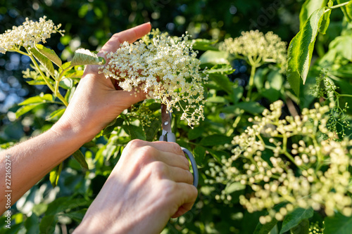 obraz lub plakat Picking white elderflower flowers. A woman breaking the flowers to prepare a medicinal syrup.