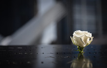 White Rose With Reflection In ...
