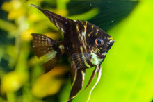 Fish Pterophyllum Scalare Ange...