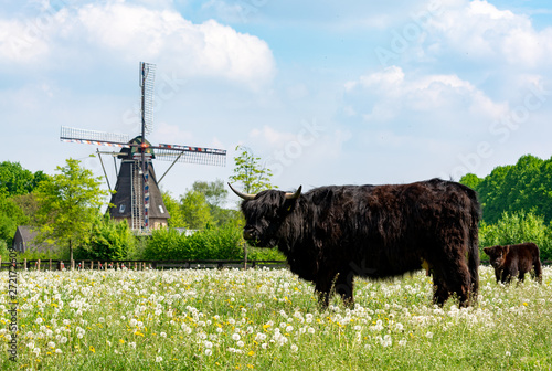 Photo Stands Grocery Countryside landscape with black scottish cow, pasture with wild flowers and traditional Dutch wind mill