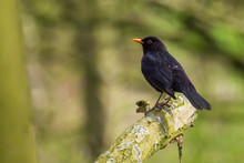 Male Blackbird Turdus Merula P...