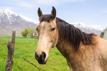Close Up Of A Brown Horse With Black Mane Beside A Barbed Wire Fence