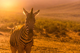 Fototapeta Sawanna - Close up of Zebra in South Africa