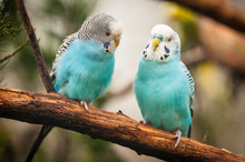 Budgerigar Parakeet Pair On Br...