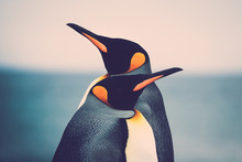 King Penguin Couple (Aptenodyt...