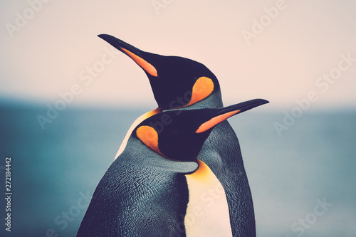 Pingouin King Penguin couple (Aptenodytes patagonicus)
