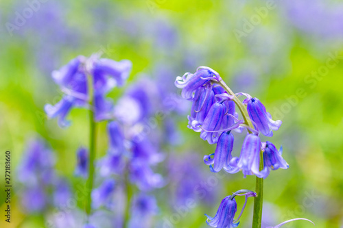 Photo Beautiful bluebells in the forest of Scotland