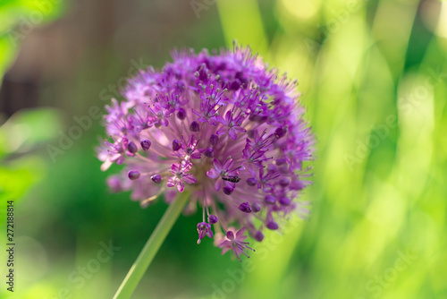 Fototapeta Czosnek - kwiaty  purple-allium-flower-globe-in-the-summer-garden
