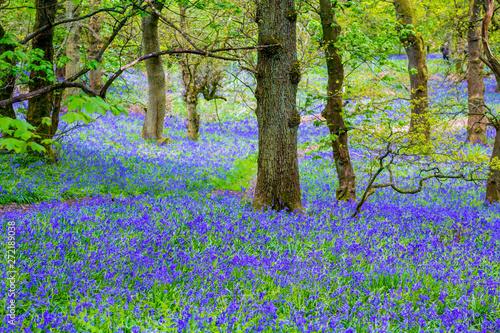 Foto op Aluminium Bossen Beautiful bluebells in the forest of Scotland