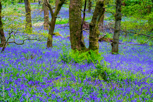 Garden Poster Forest Beautiful bluebells in the forest of Scotland
