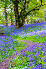 Beautiful Bluebells In The For...