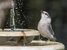 Gray Jay Taking A Drink At The Bird Fountain