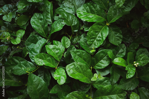 Foliage of tropical leaf in dark green with rain water drop on texture, abstract pattern nature background..