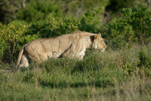 Lioness Hunting, South Africa
