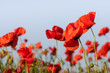 Red poppy flowers on a rural field. Papaver.