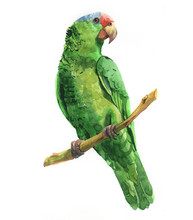 Watercolor Parrot Bird Animal Illustration Isolated On White Background
