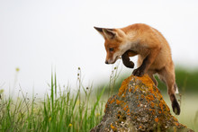 Baby Fox. Young Red Fox On The Stone Near His Hole. Vulpes Vulpes