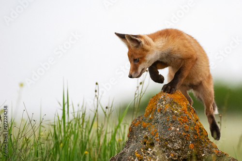 Obraz Baby Fox. Young red Fox on the stone near his hole - fototapety do salonu