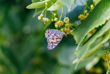 Vanessa Cardui Drinking Nectar On Linden Butterfly