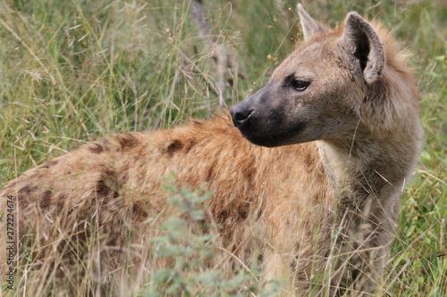 Photo sur Toile Hyène Hyène en chasse