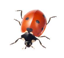 Ladybug On White Background Ladybug Isolated On White Background